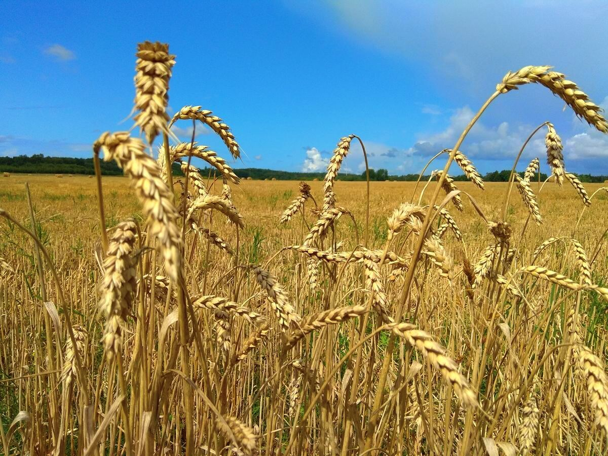 поле, село, агро, АПК, пшеница